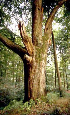 Naturdenkmal Kaisereiche (Foto: Wiegand, Juli 02, HM-XVII-20)